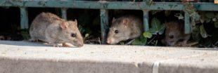 Paris s'équipe de nouvelles poubelles pour lutter contre les rats
