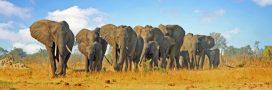 Le Zimbabwe veut vendre son stock d'ivoire d'éléphant