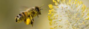 Quand des néo-ruraux se plaignent... des déjections d'abeilles