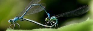 La libellule : mythique, magnifique et utile