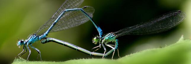 La libellule: mythique, magnifique et utile