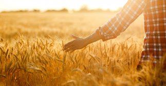 blé dur, blé tendre