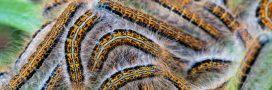 La chenille du Bombyx disparate à l'assaut des forêts de Provence