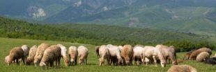 Loups, lynx, ours : les règles d'indemnisation des dommages dus aux prédateurs évoluent