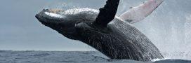 Cruelle tradition: le Japon reprend la chasse à la baleine!