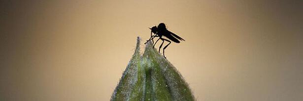 comment se débarrasser des moucherons