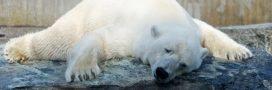 Canicule: une pétition réclame le transfert des ours polaires du Marineland