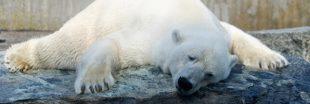 Canicule : une pétition réclame le transfert des ours polaires du Marineland