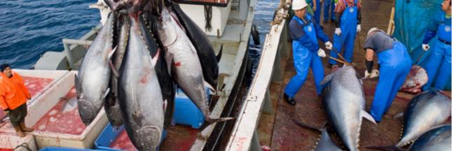 La France s'octroie la première certification 'Pêche Durable' pour le thon rouge de Méditerranée!