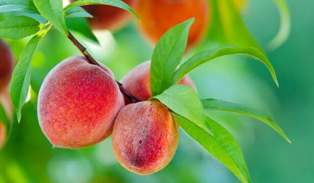 peche fruit