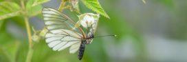 Piéride du chou: protégez vos choux des prédateurs en juillet au jardin bio