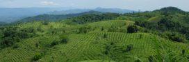 Planter massivement des arbres pour contenir le réchauffement climatique?