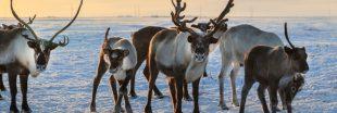 Réchauffement climatique : 200 rennes retrouvés morts de faim en Norvège