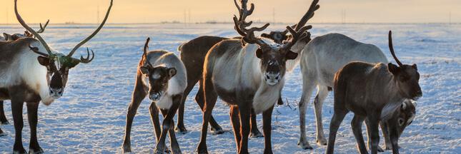 Réchauffement climatique: 200 rennes retrouvés morts de faim en Norvège