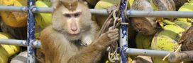 L'exploitation des singes derrière la vogue de l'huile de coco