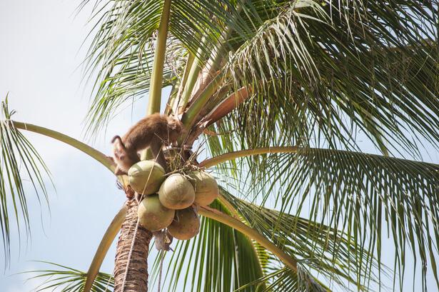 singe cueilleur coco