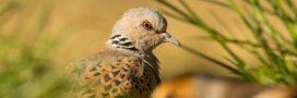 L'État français, multirécidiviste de la chasse aux oiseaux menacés