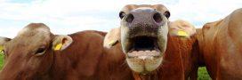 Les vaches ne mangeront bientôt plus de pneus!