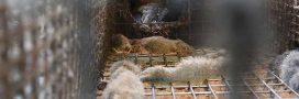 Fourrure: scandale dans une ferme d'élevage de visons