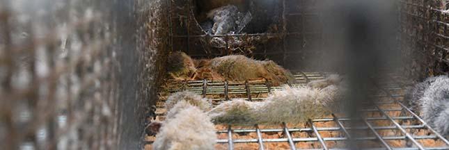 Fourrure : scandale dans une ferme d'élevage de visons