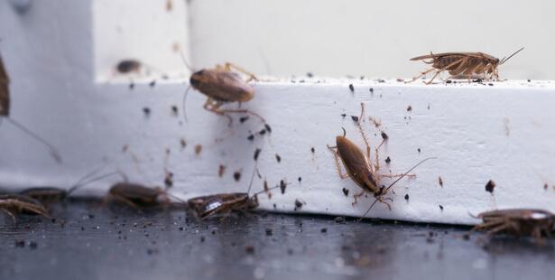blattes cafards