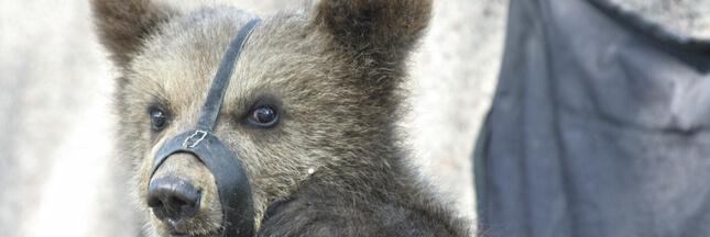 Un dresseur d'ours porte plainte contre des défenseurs des animaux