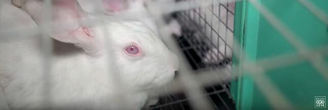 Vidéo L214: le supplice des lapins élevés en cage