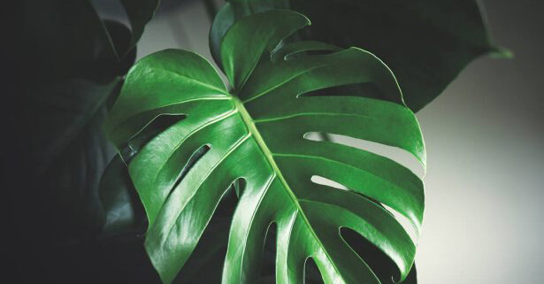 bouture monstera