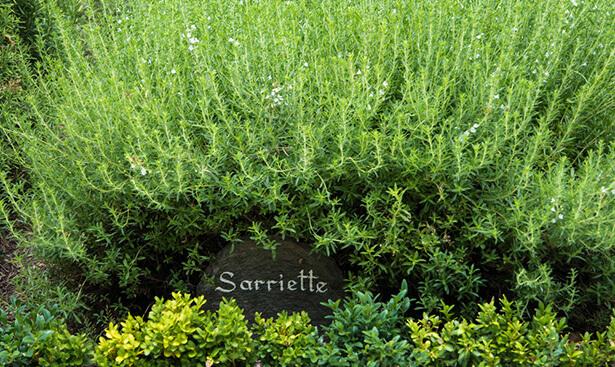 herbes médicinales, herbe médicinale sarriette
