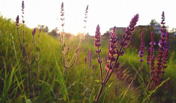 herbes médicinales, herbe médicinale sauge salvia offcinalis