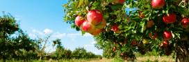 Pesticides: des pommes bretonnes contaminées au prosulfocarbe