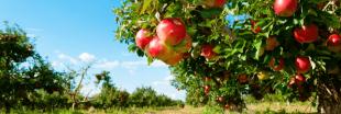 Pesticides : des pommes bretonnes contaminées au prosulfocarbe