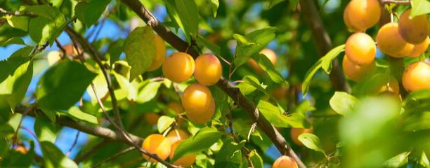 que faire avec les prunes du jardin