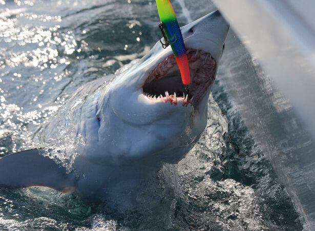 requins makos
