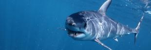 Les requins makos bientôt davantage protégés