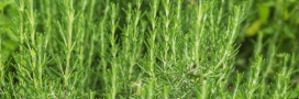 Plantes aromatiques – Comment planter du romarin