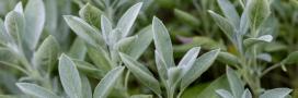 Planter, entretenir et récolter les herbes aromatiques: la sauge