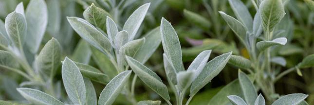 Plantes aromatiques – Comment planter de la sauge