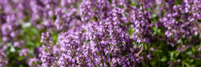 Plantes aromatiques – Comment planter du thym