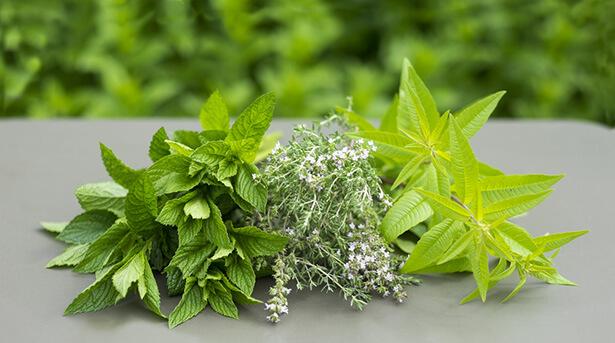 verveine officinale bienfaits, plante aromatique, infusion verveine menthe