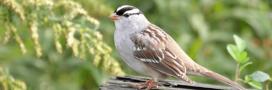 Un néonicotinoïde coupable de la perte de poids d'oiseaux migrateurs!
