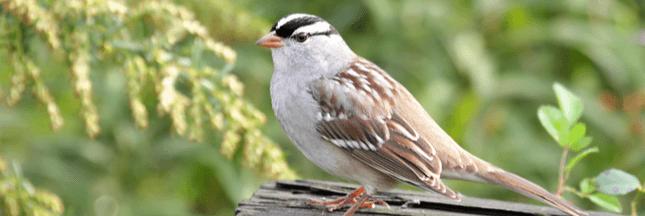 Un néonicotinoïde coupable de la perte de poids d'oiseaux migrateurs !