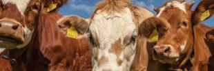 Crowdbutchering, un moyen de lutte contre le gaspillage de viande
