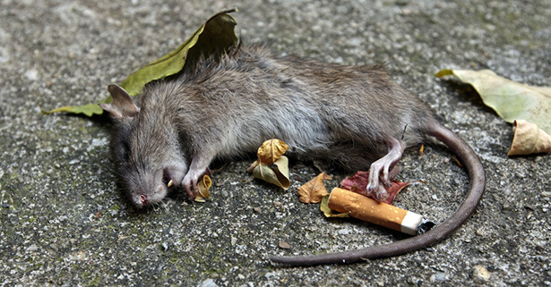 animaux de laboratoire tabac