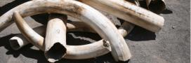 Les pays d'Afrique australe veulent pouvoir vendre leur ivoire