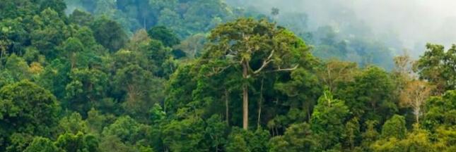 Un sanctuaire d'arbres géants découvert en Amazonie