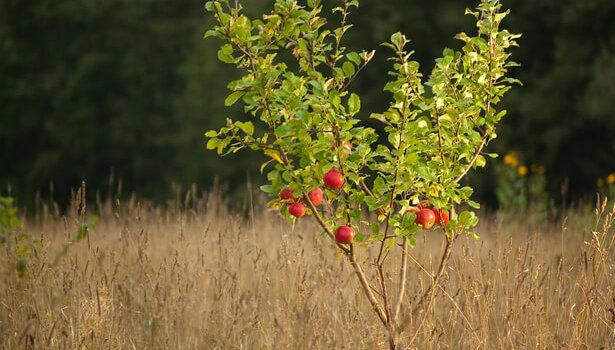 pépin de pomme