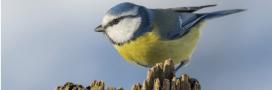 Hécatombe chez les mésanges en Belgique: des pesticides incriminés