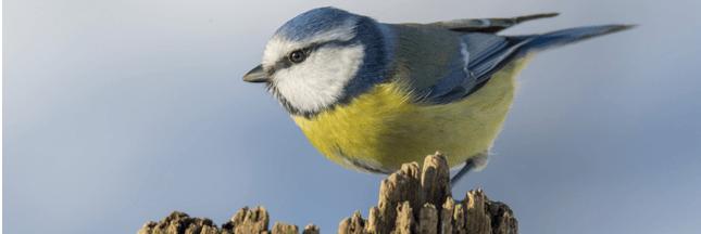 Hécatombe chez les mésanges en Belgique : des pesticides incriminés
