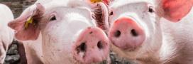 Peste porcine africaine: après la flambée des prix, la crise sanitaire?